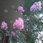さるすべりの花(新町商店街)8月