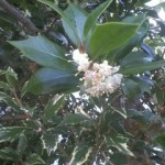 ひいらぎの花~かすかな香りが、キンモクセイに似ています~