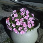 新町の花たち(10月16日) 朝晩冷え込んできましたが、花はきれいに咲いています