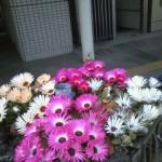 新町の花たち