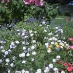 本町公園の花たち8月