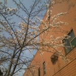 サンロード青森の桜が開花