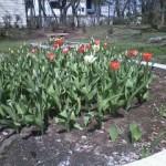 本町公園 チューリップがようやく咲き始めました