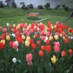 本町公園のチューリップ~きれいに咲きました~