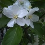 新町商店街のりんごの花(アルプスオトメ)