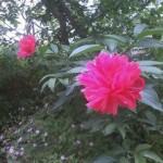 きれいな花(名前がわかりません…)