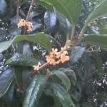 キンモクセイが咲きました(仙台にて)