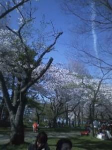 合浦公園 満開の桜