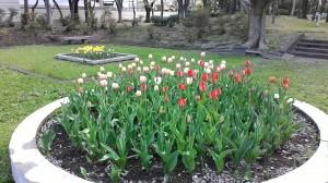 本町公園、チューリップが咲き始めました